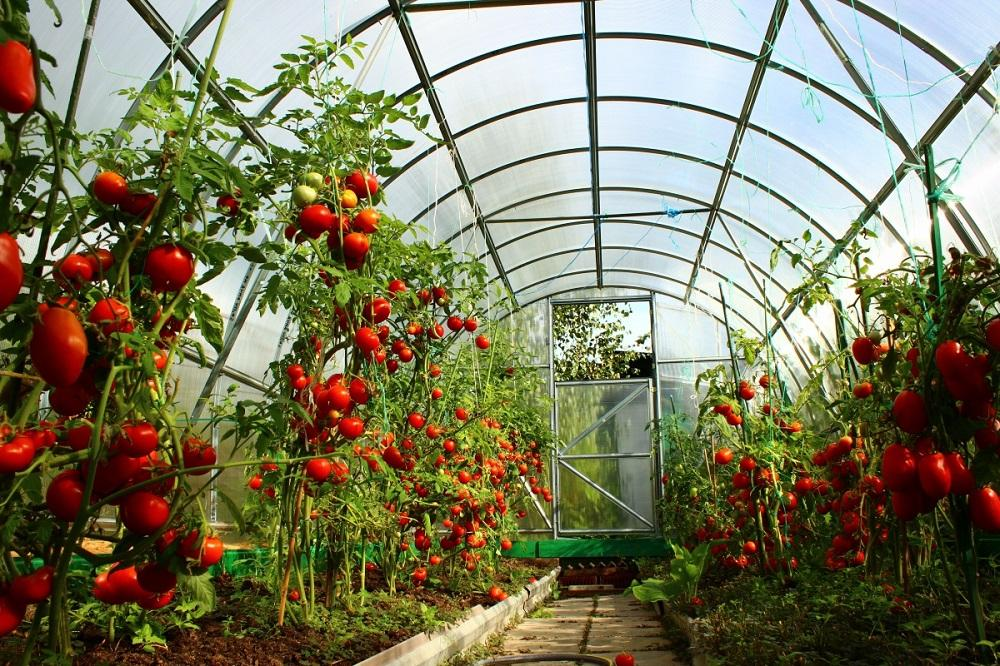 Чем хороша теплица из поликарбоната для посадки помидоров