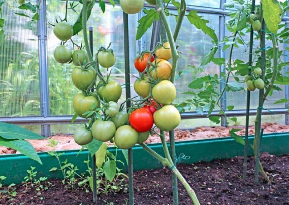Как правильно высаживать помидоры в теплицу из поликарбоната
