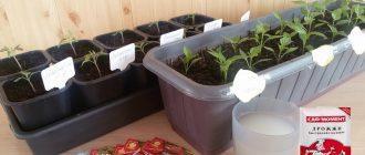 Подкормка рассады томатов сухими дрожжами