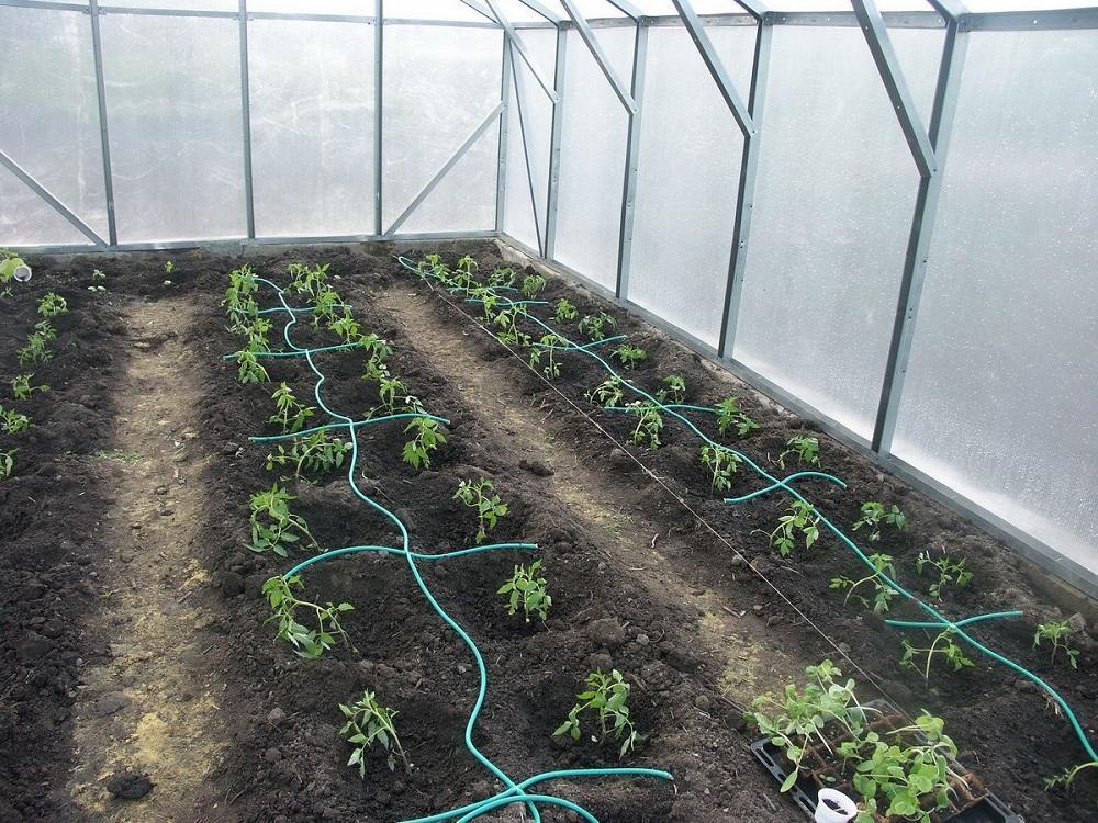 Правила посадки томатов в теплице из поликарбоната