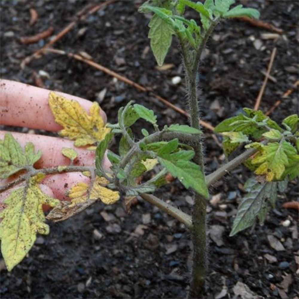 Причины пожелтения листьев у томатов