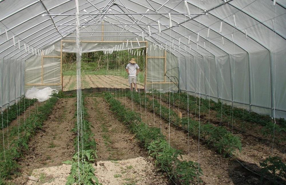 Сроки высаживания томатов в теплице из поликарбоната