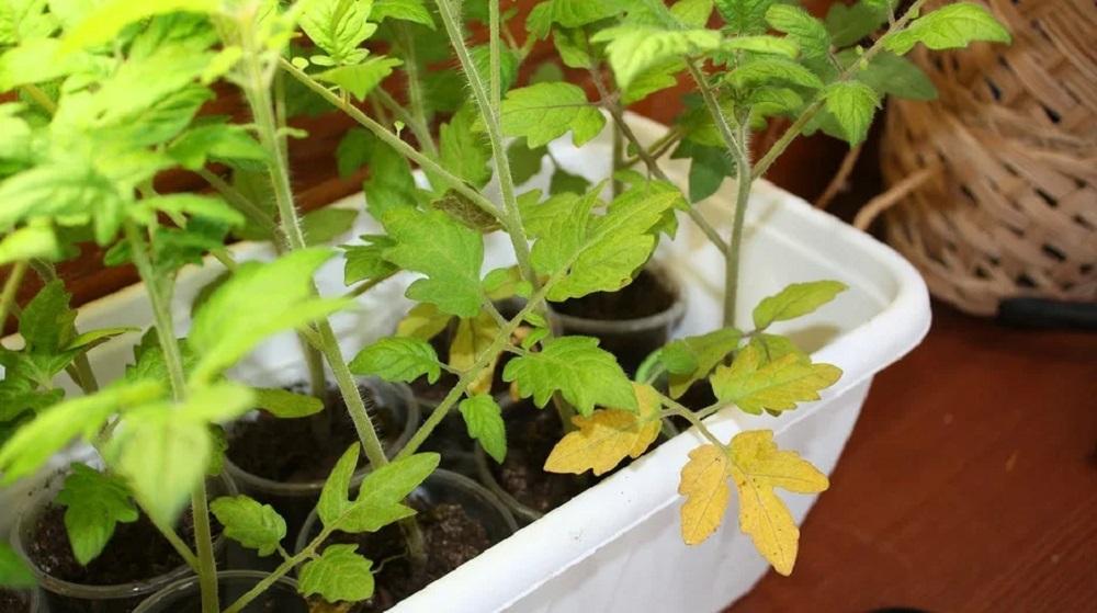 Желтеют листья у томатов на подоконнике