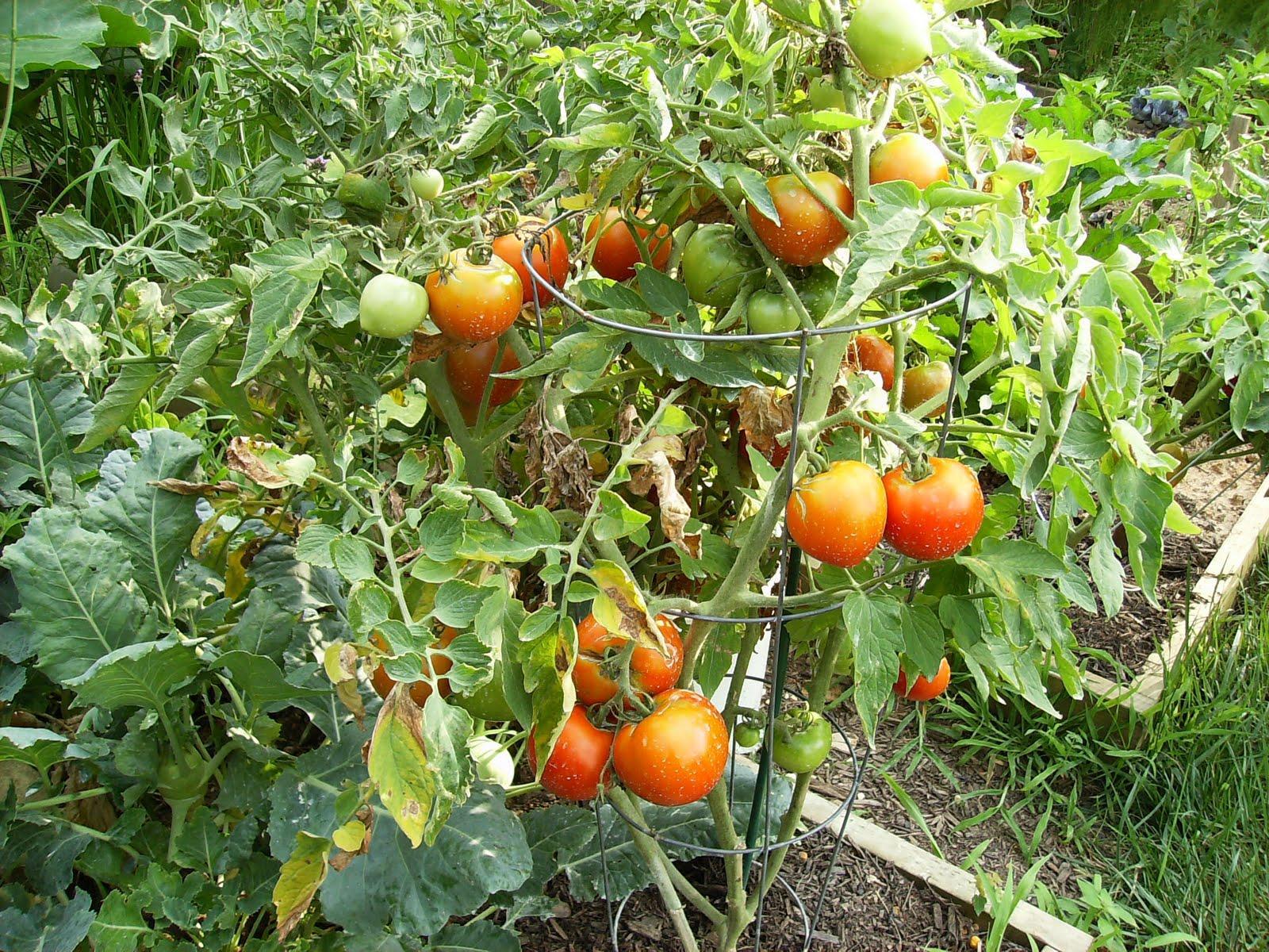 Что такое детерминантный сорт томатов