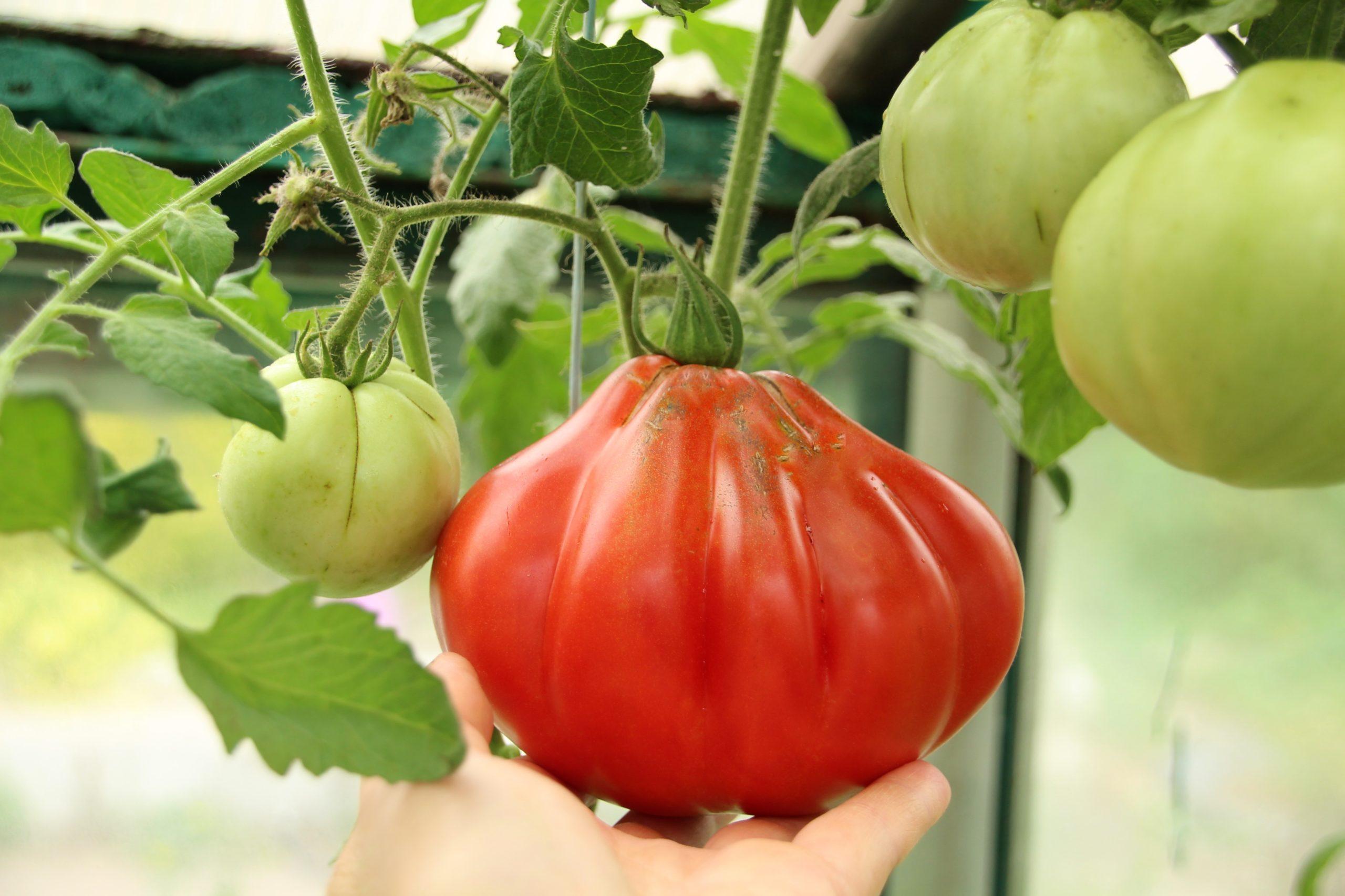 """Как выглядит томат """"Пузата хата"""""""