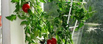 Как вырастить помидоры черри на балконе из семян в домашних условиях