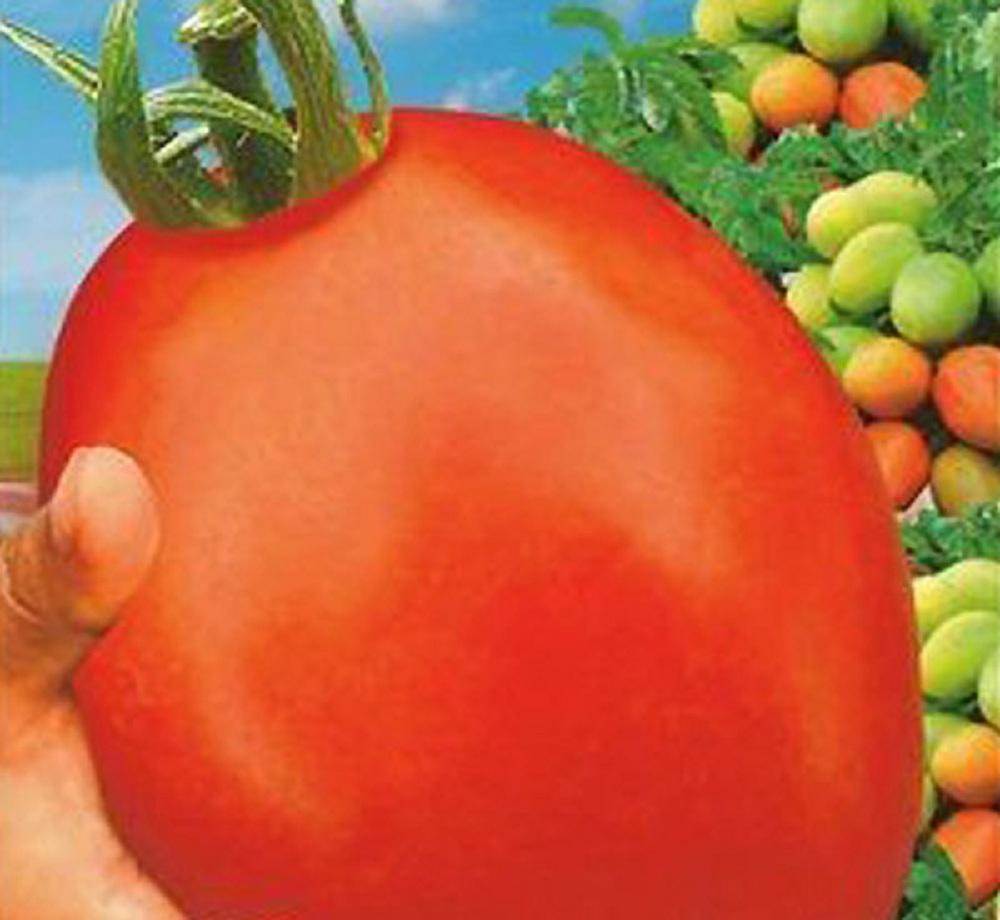 Крупные гладкие помидоры отличаются отменным вкусом