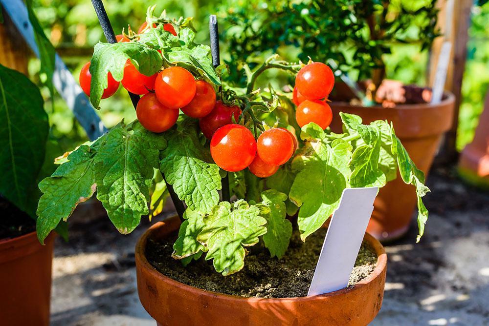Помидоры Черри - выращивание на подоконнике, основные правила