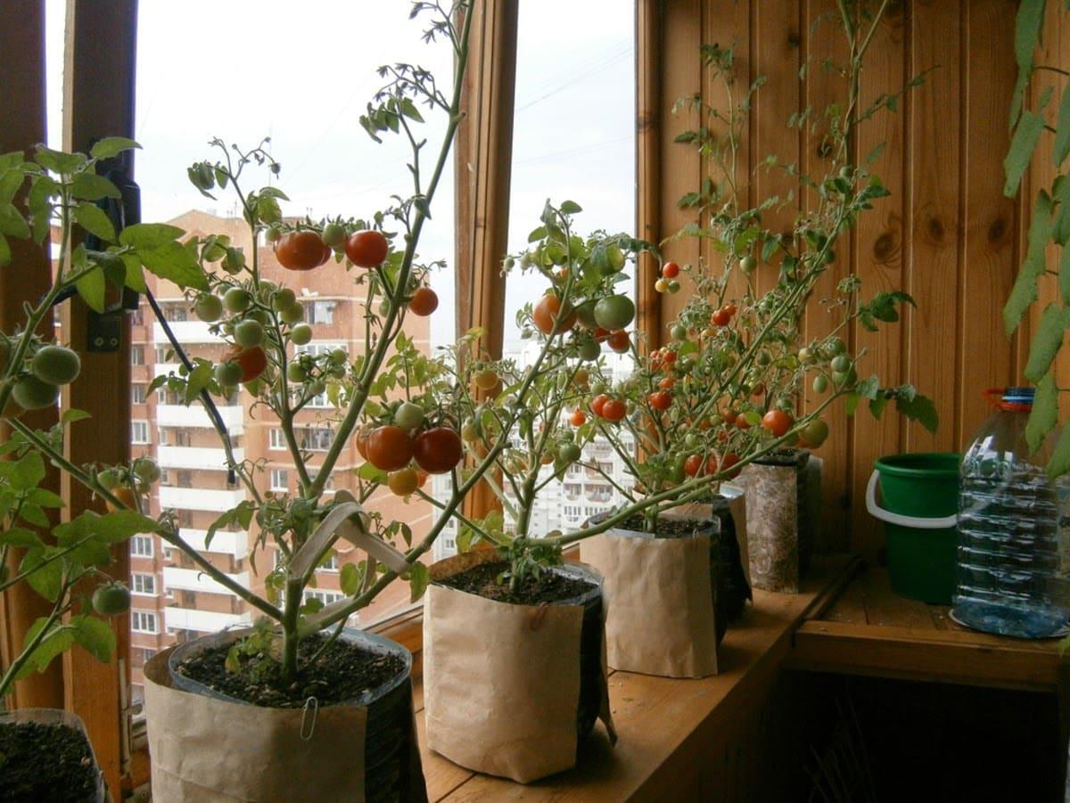 Посадить помидоры на балконе