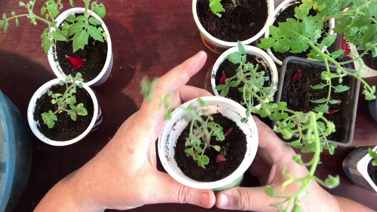 Правила подготовки к пересадке томатов