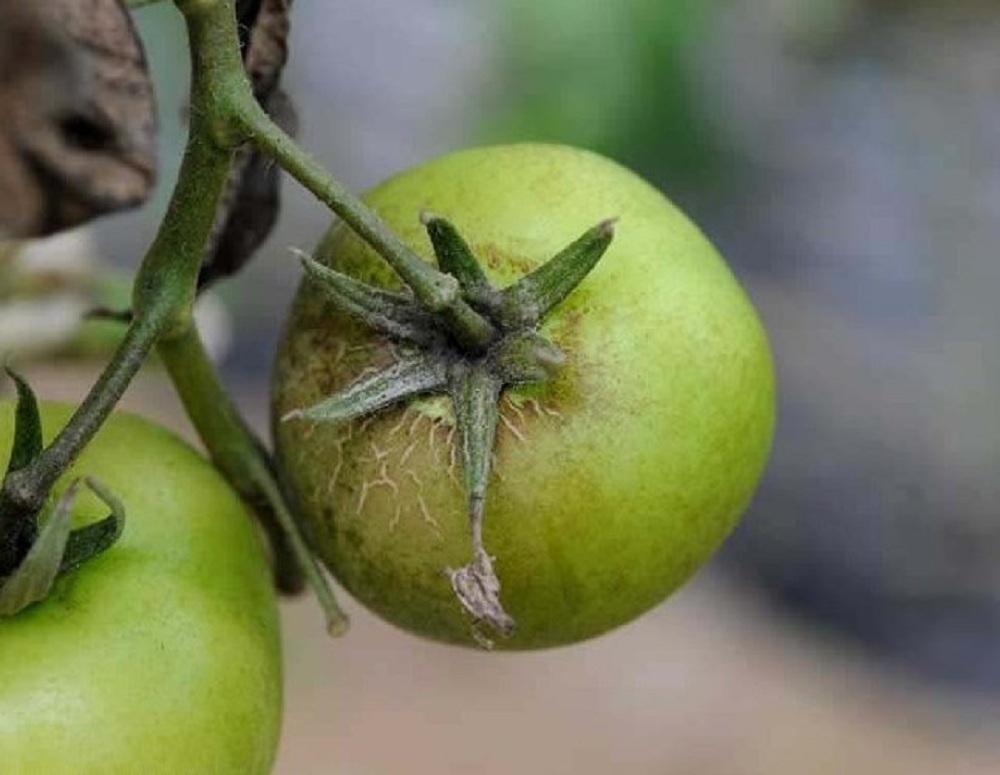 Ржавый клещ на томатах