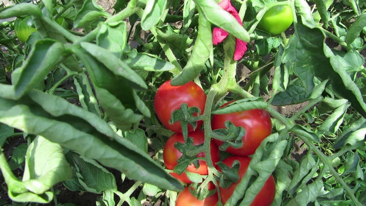 Собирать помидоры Сибирский карлик