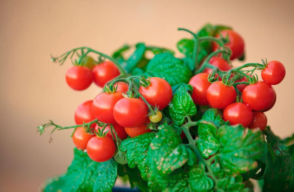 Сорт томатов черри для выращивания в домашних условиях