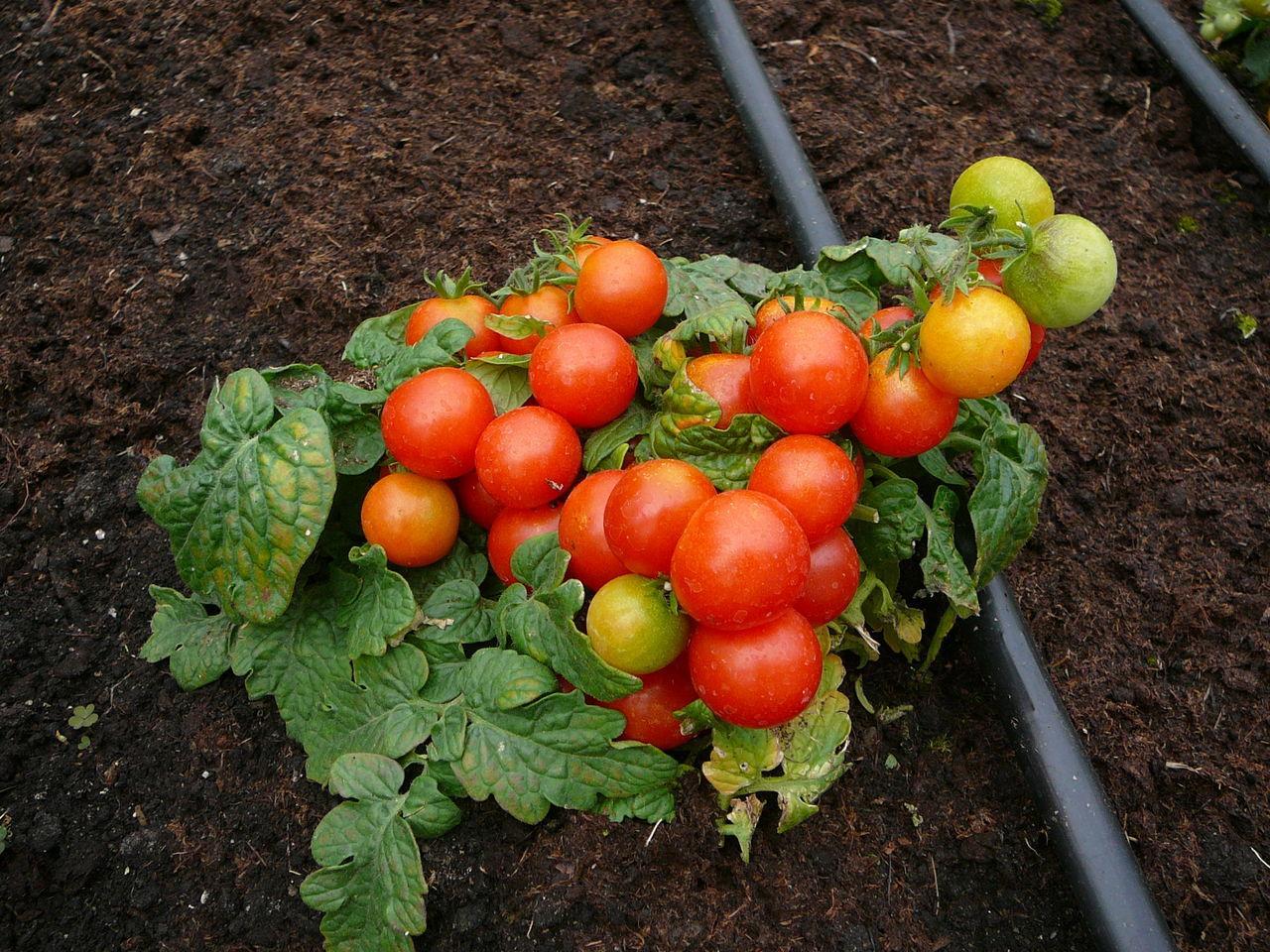 Супердетерминантный сорт томатов