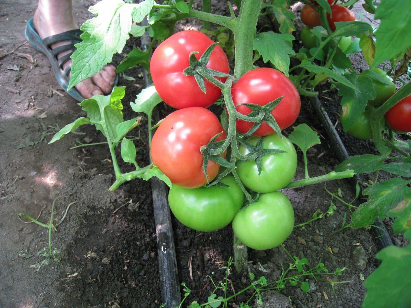 помидоры барс описание сорта