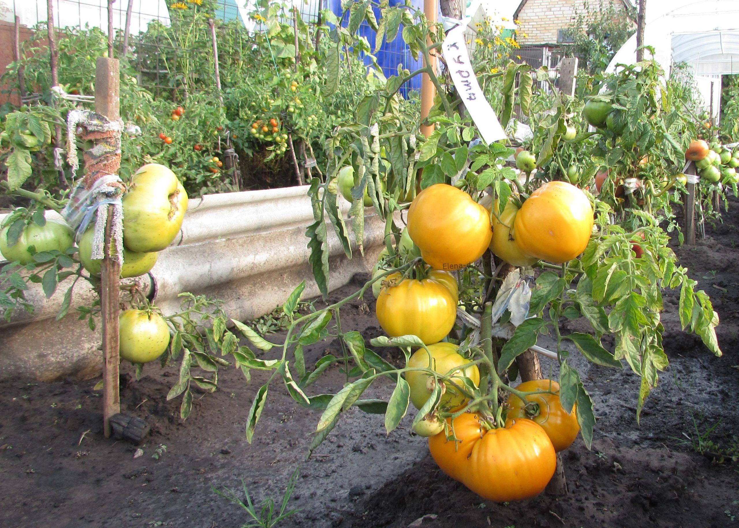 """Уход за томатами """"Хурма"""""""