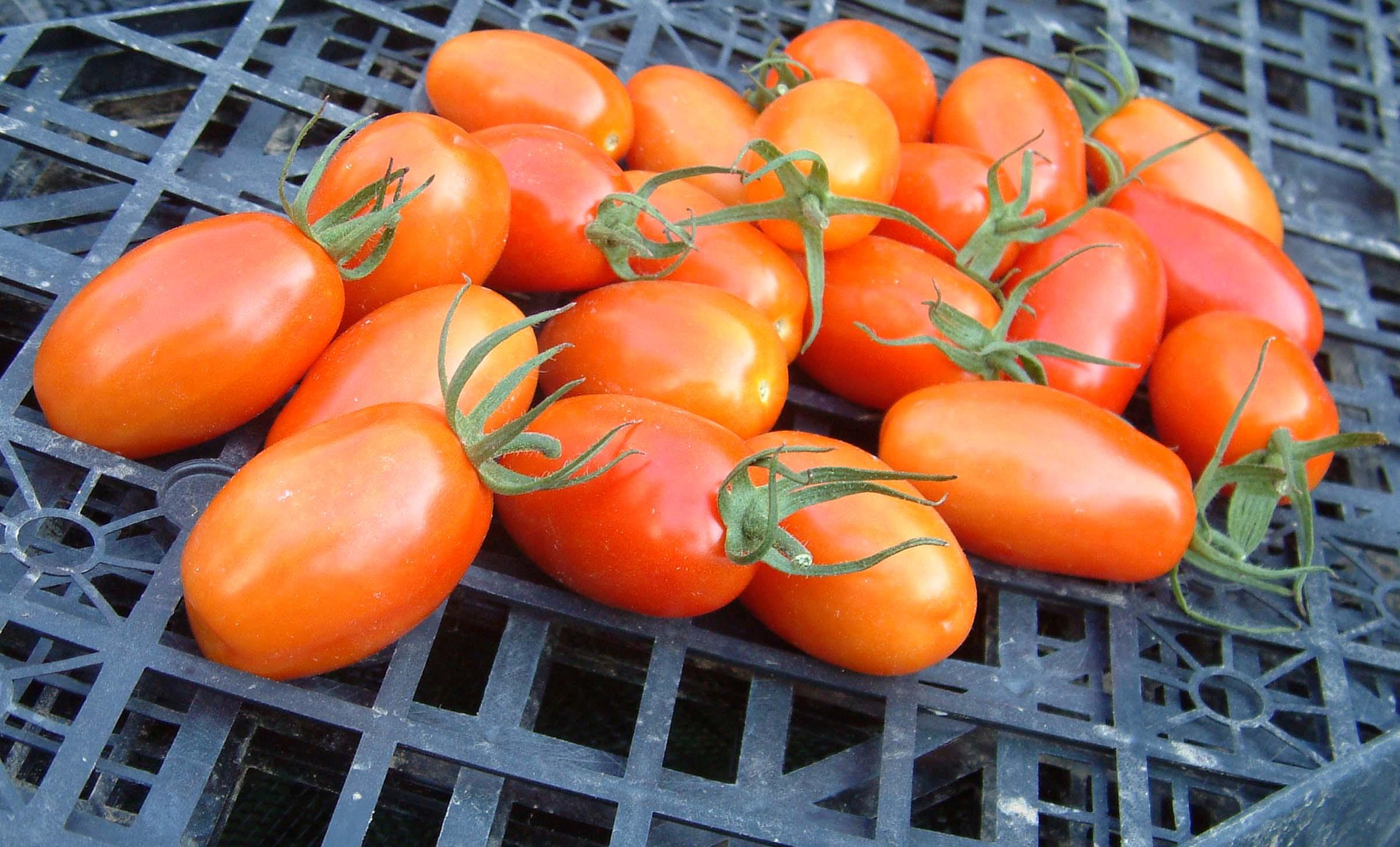 """Урожайность томата """"Боец"""""""