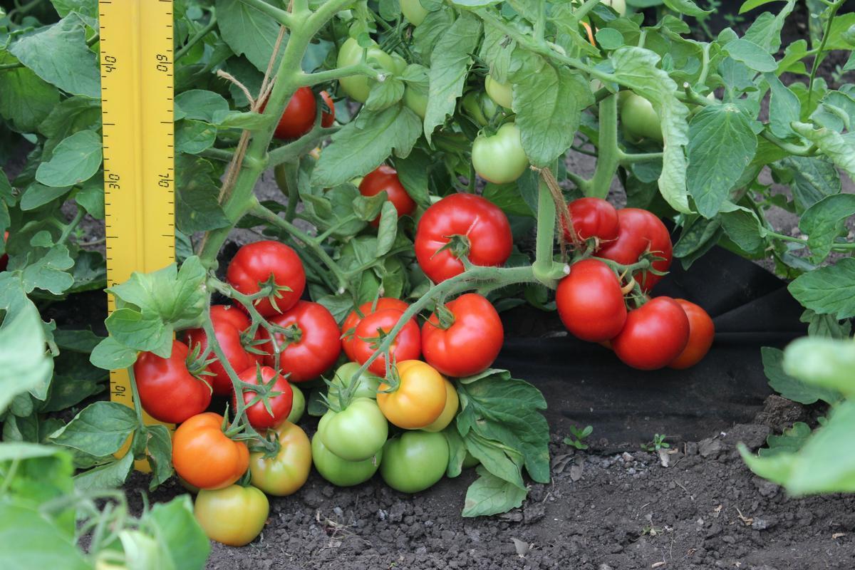 """Урожайность томата """"Любаша"""""""