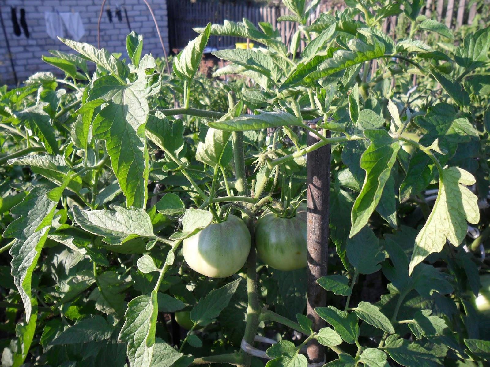 """Внешний вид томатов """"Андромеда"""""""