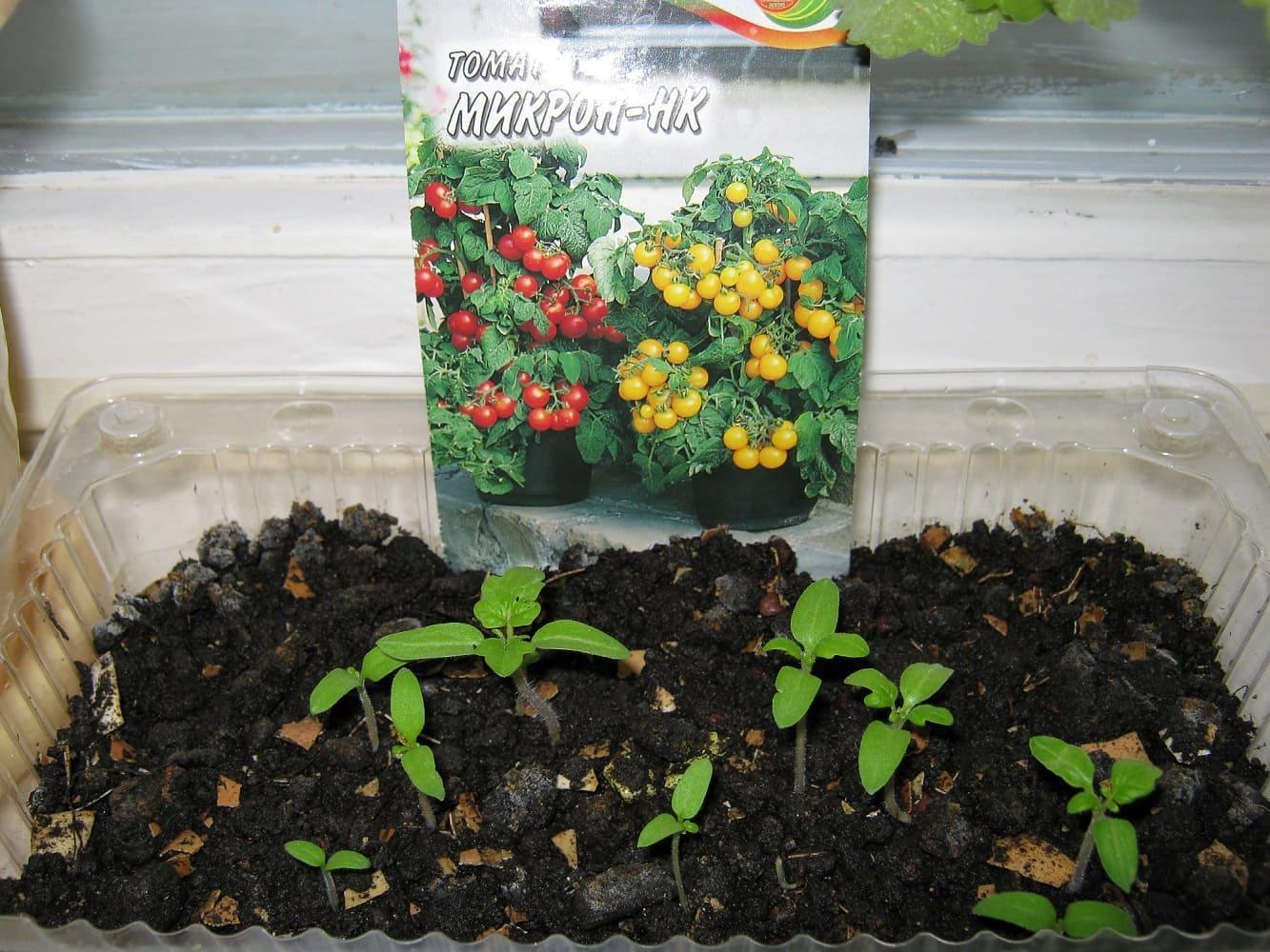 Выращивание помидор на подоконнике из семян