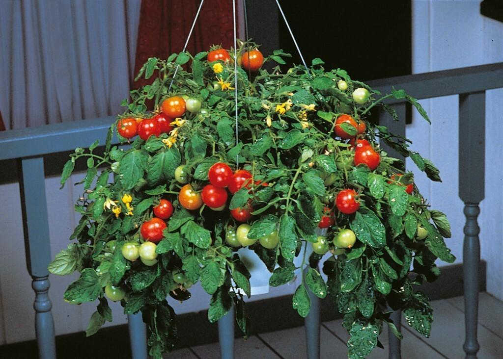 Вырастить помидоры на балконе из семян