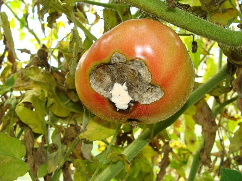 Болезни томатов в открытом грунте и способы лечения