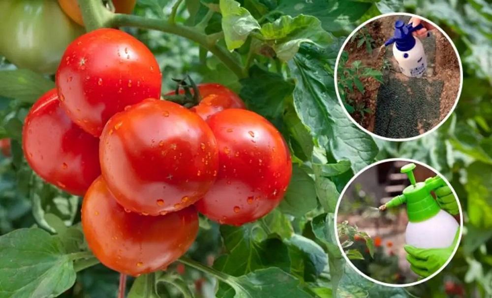 Чем можно обработать помидоры, если появились насекомые
