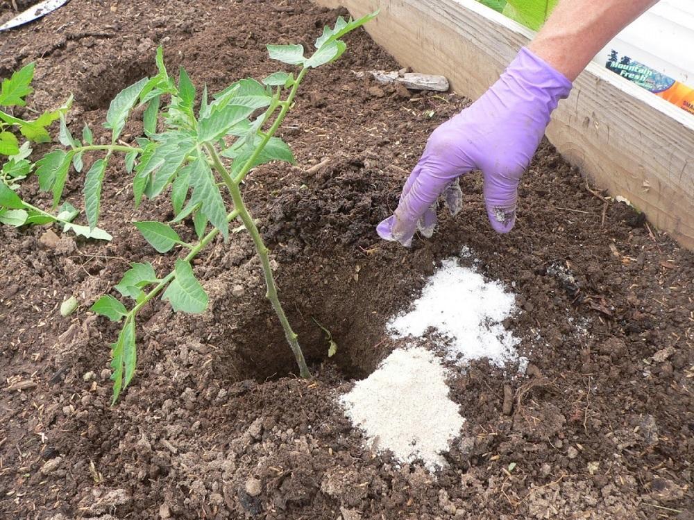 Ошибки при подкормке рассады помидоров