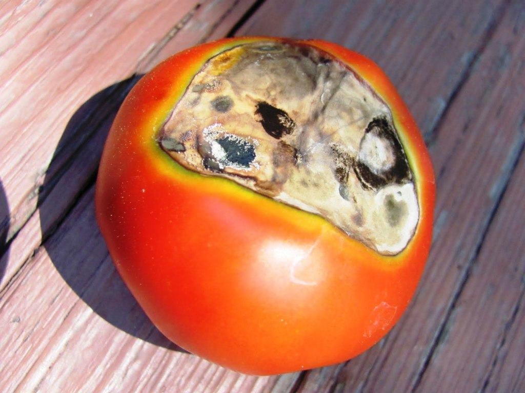 Вредители томатов, болезни и способы борьбы с ними