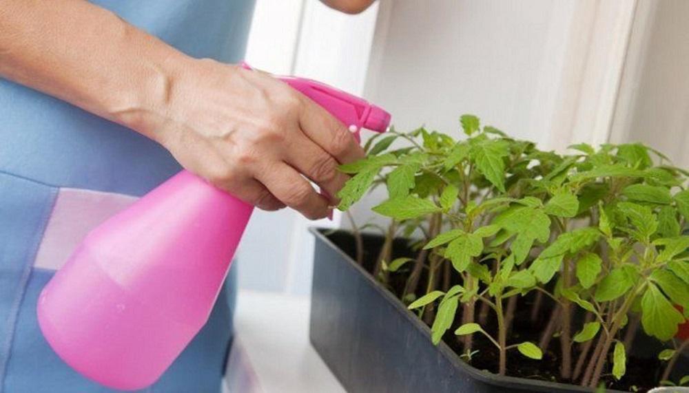 Подкормка рассады томата