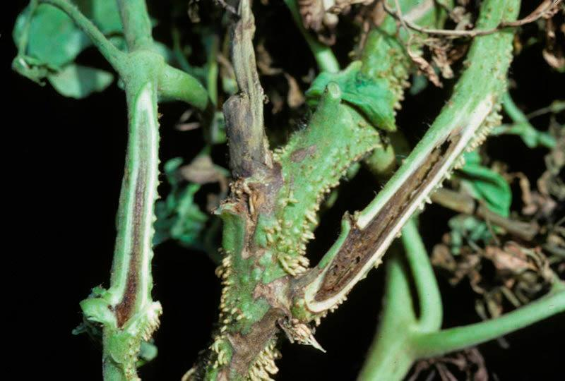 Некроз стебля рассады томатов