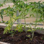 Упала рассада помидор: основные причины и способы их устранения