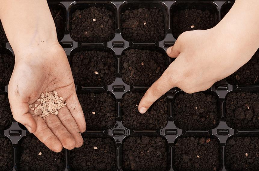 Семена помидор золотая королева