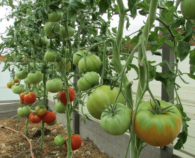 ТоматЮсуповский: рассада, семена, принципы выращивания