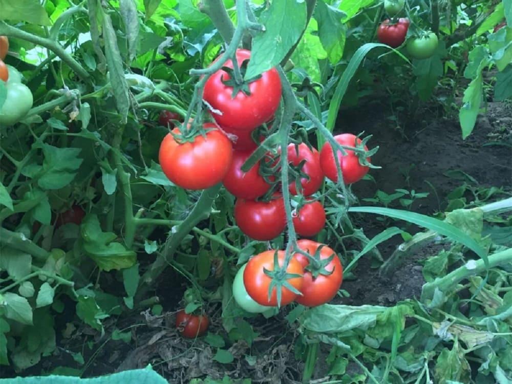 Характеристика плодов и кустов