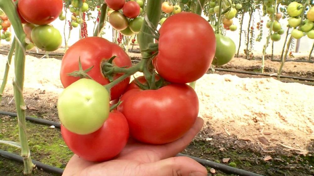 Характеристики томатов Аляска