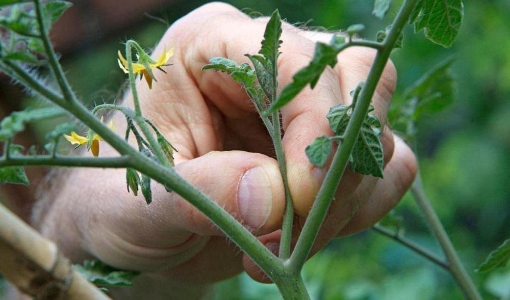 Пасынкование рассады томатов