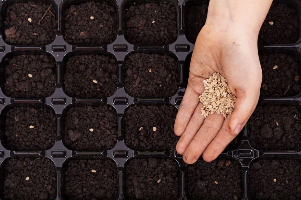 Посадка семян томатов на подоконнике