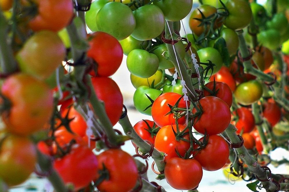 Размер кустов и плодов