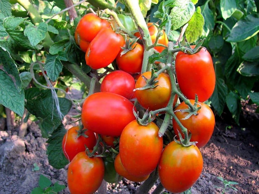 Сорт томатов Акварель