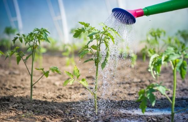 Сорт томата Сибирский скороспелый: Урожайность, отзывы, фото