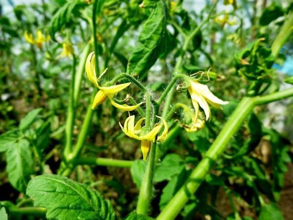 Описание томата Дрова, основные характеристики и нюансы выращивания