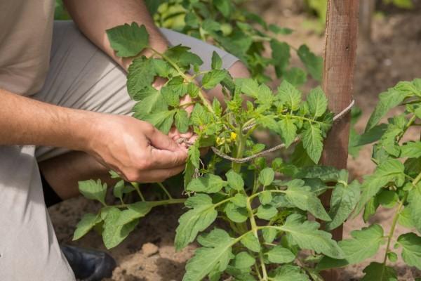 Сорт томата Петруша огородник