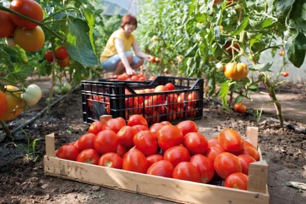Как вырастить помидоры - уход, посадка, тонкости и нюансы