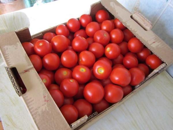 Сорт томатов Взрыв