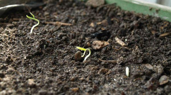Через сколько дней всходят семена помидор?