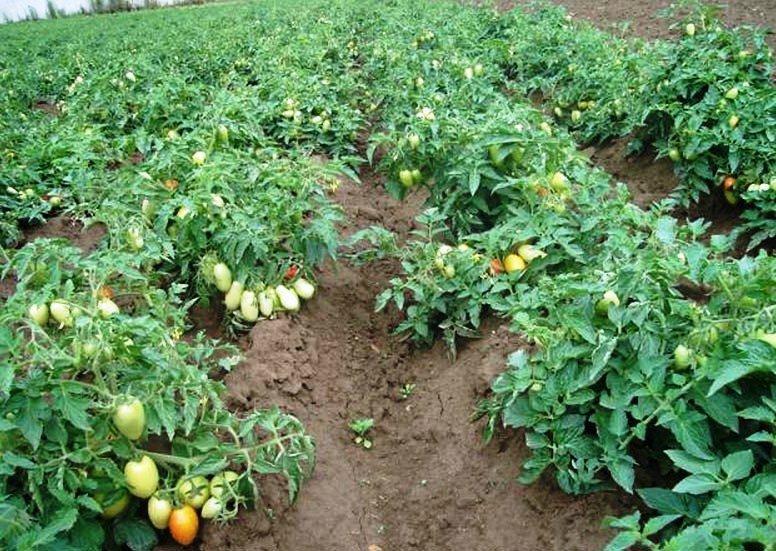 Минусинские томаты