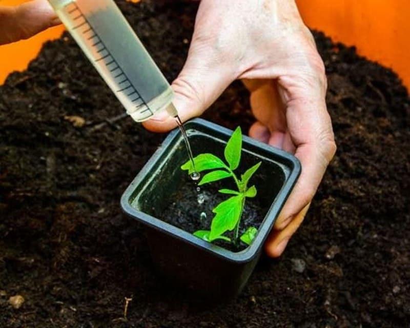 Не всходят семена томатов, что делать?