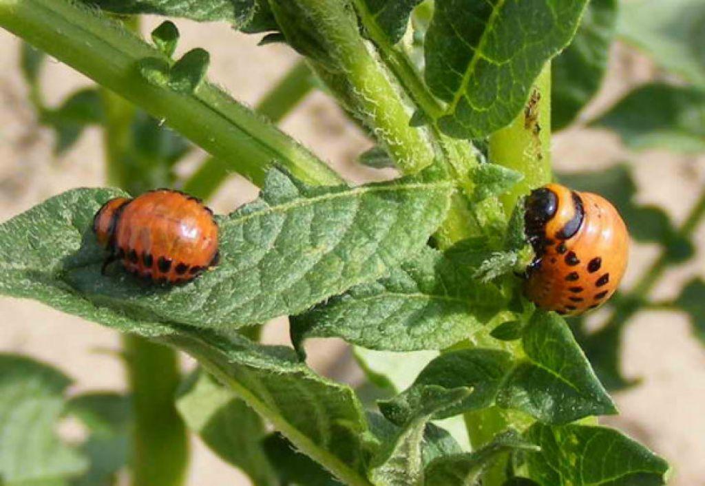 Колорадский жук на помидорах: Что делать?