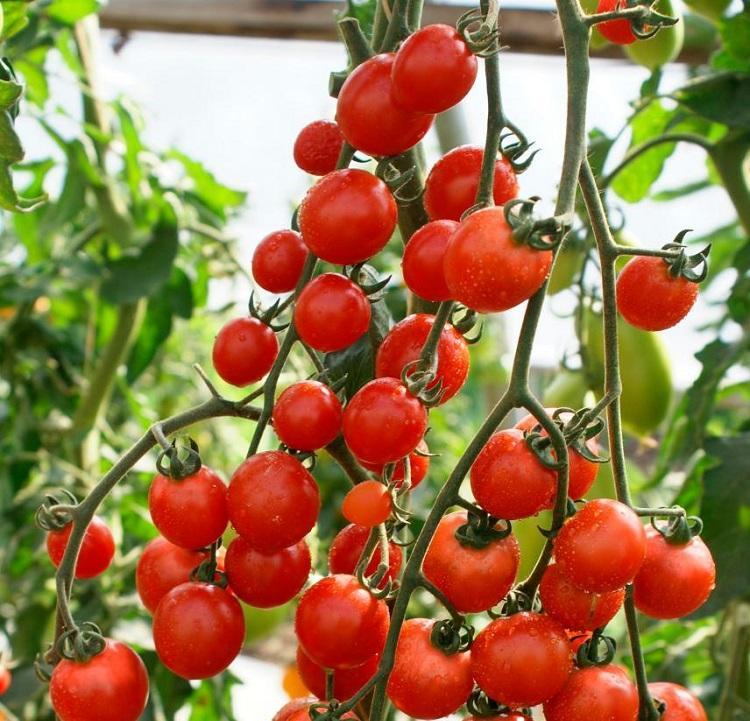 Фузариоз томатов: фото, описание и лечение